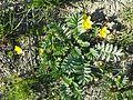 Potentilla anserina (subsp. anserina) sl13.jpg