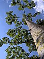 Pourouma cecropiifolia.jpg