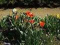 Praha, Troja, Botanická zahrada, květy tulipánů.JPG