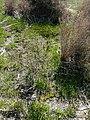 Prat d'orquídies de la maresma de les Filipines P1100475.jpg