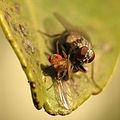 Predatory Fly (16237401757).jpg