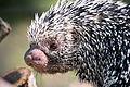 Prehensile Tail Porcupine Closeup Profile (18141178892).jpg