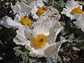 Prickly Poppy 06 (3811008365).jpg