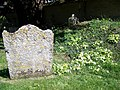 Primroses, St Andrew's Churchyard - geograph.org.uk - 1821102.jpg
