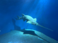 Pristis zijsron (Green sawfish) in Aqua park.png
