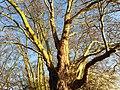Proteales - Platanus orientalis - 4.jpg