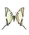 Protgraphium agesilaus.jpg