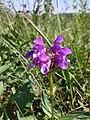 Prunella grandiflora sl1.jpg