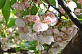 Prunus Sato-Zakura 'Shirotae' in the Jardin des Plantes, Paris 005.JPG