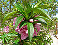 Prunus persica Bonanza 1.jpg