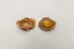 Pyrena - A pyrene dissected to reveal the seed