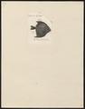 Psettus argenteus - 1700-1880 - Print - Iconographia Zoologica - Special Collections University of Amsterdam - UBA01 IZ13500479.tif