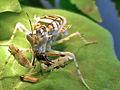Pseudocreobotra wahlbergii prey.jpg