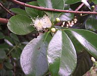 Psidium cattleyanum flowers2.JPG
