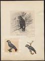 Psittacus erythacus - 1700-1880 - Print - Iconographia Zoologica - Special Collections University of Amsterdam - UBA01 IZ18600065.tif