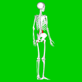 Psoas major muscle04.png