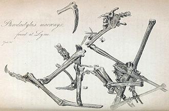 Dimorphodon - Illustration of the D. macronyx holotype specimen, NHMUK PV R 1034