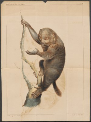 Pterodicticus potto - 1834-1845 - Print - Iconographia Zoologica - Special Collections University of Amsterdam - UBA01 IZ19700195.tif