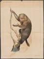 Pterodicticus potto - 1834-1845 - Print - Iconographia Zoologica - Special Collections University of Amsterdam - UBA01 IZ19700195.tif