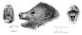 Pteropus subniger Matschie1899.png