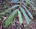 Pterospermum reticulatum.jpg