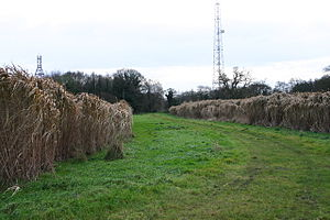 Energy crop - Elephant grass (Miscanthus sinensis) is an experimental energy crop