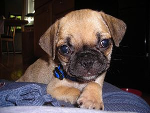 English: 6 week old Puggle hybid puppy female