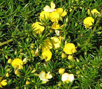 Pultenaea - Pultenaea pedunculata