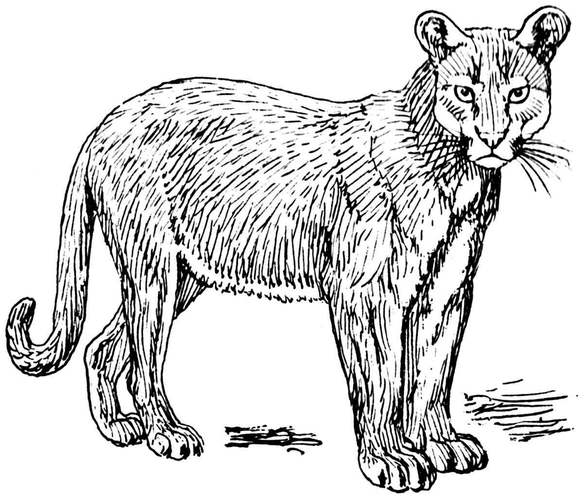 Line Drawing Wikipedia : File puma psf wikimedia commons