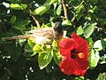 Pycnonotus xanthopygos 003.JPG