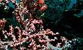Pygmy Seahorse (Hippocampus bargibanti) (6062288352).jpg