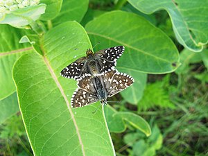 Grizzled skipper - Mating behaviour of Pyrgus malvae