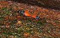 Pyrrhocorid Bugs (Dindymus pulcher) mating (23811414185).jpg