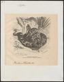 Python tigris - 1700-1880 - Print - Iconographia Zoologica - Special Collections University of Amsterdam - UBA01 IZ11800233.tif