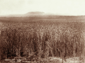 Queensland State Archives 3933 Wheatfield Canning Downs near Warwick 16 November 1894.png