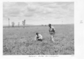 Queensland State Archives 4299 Bureau of Investigation irrigated pastures Gatton 1950.png