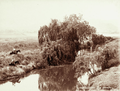 Queensland State Archives 5178 Swan Creek 1899.png
