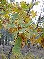 Quercus pyrenaica Cuenca.JPG