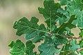 Quercus robur in Aveyron 04.jpg