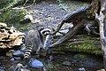 Raccoon at water. (aef5af31618e4c79aa563f9a309cf21d).jpg