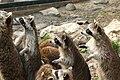 Raccoons in ZooParc de Beauval.jpg