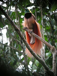Bird-of-paradise Family of birds of the order Passeriformes