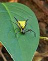 Rain forest spider - Gran Sabana.jpg