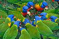 Rainbow Lorikeets (Trichoglossus moluccanus) feeding frenzy (9935428184).jpg