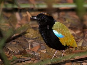 Rainbow Pitta Mark Gillow.jpg