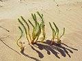 Rainbow plant (15126534714).jpg