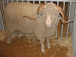 Youth Honors Answer Book/Sheep Breeds/Rambouillet - Wikibooks, open