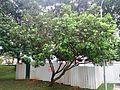 Rambutan tree 1.jpg