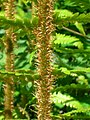 Ramenta on Dryopteris affinis.JPG