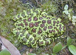 True frog - Ishikawa's frog (Odorrana ishikawae), formerly placed in Rana which now contains a closely related branch